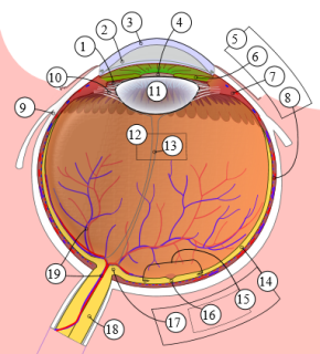 schematic_diagram_of_the_human_eye_multilingual